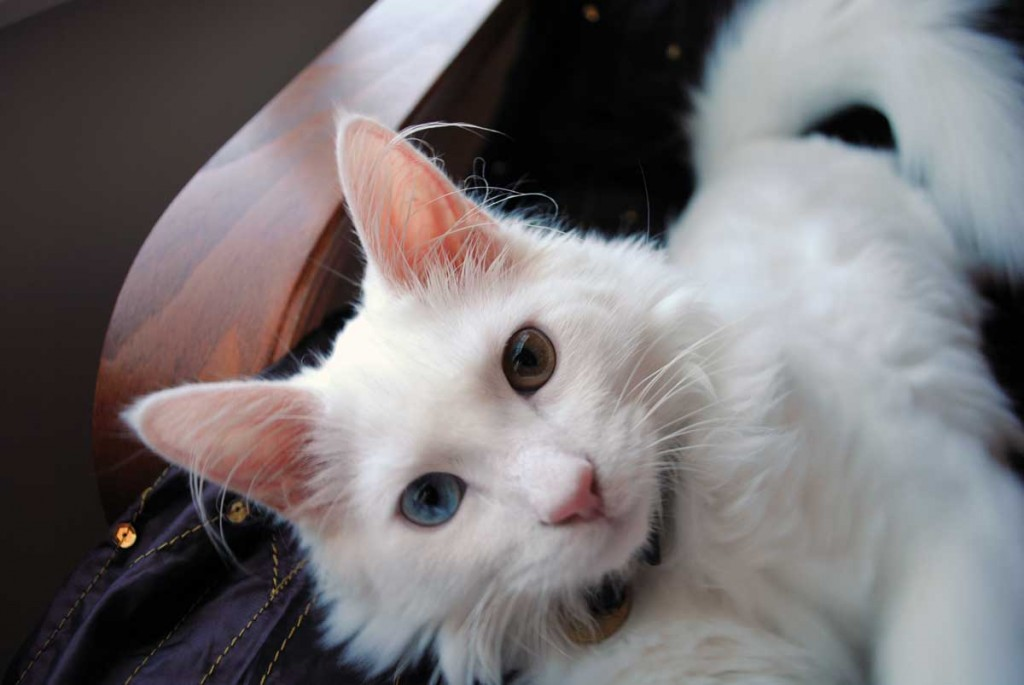 Turkish Angora cat with different colored eyes
