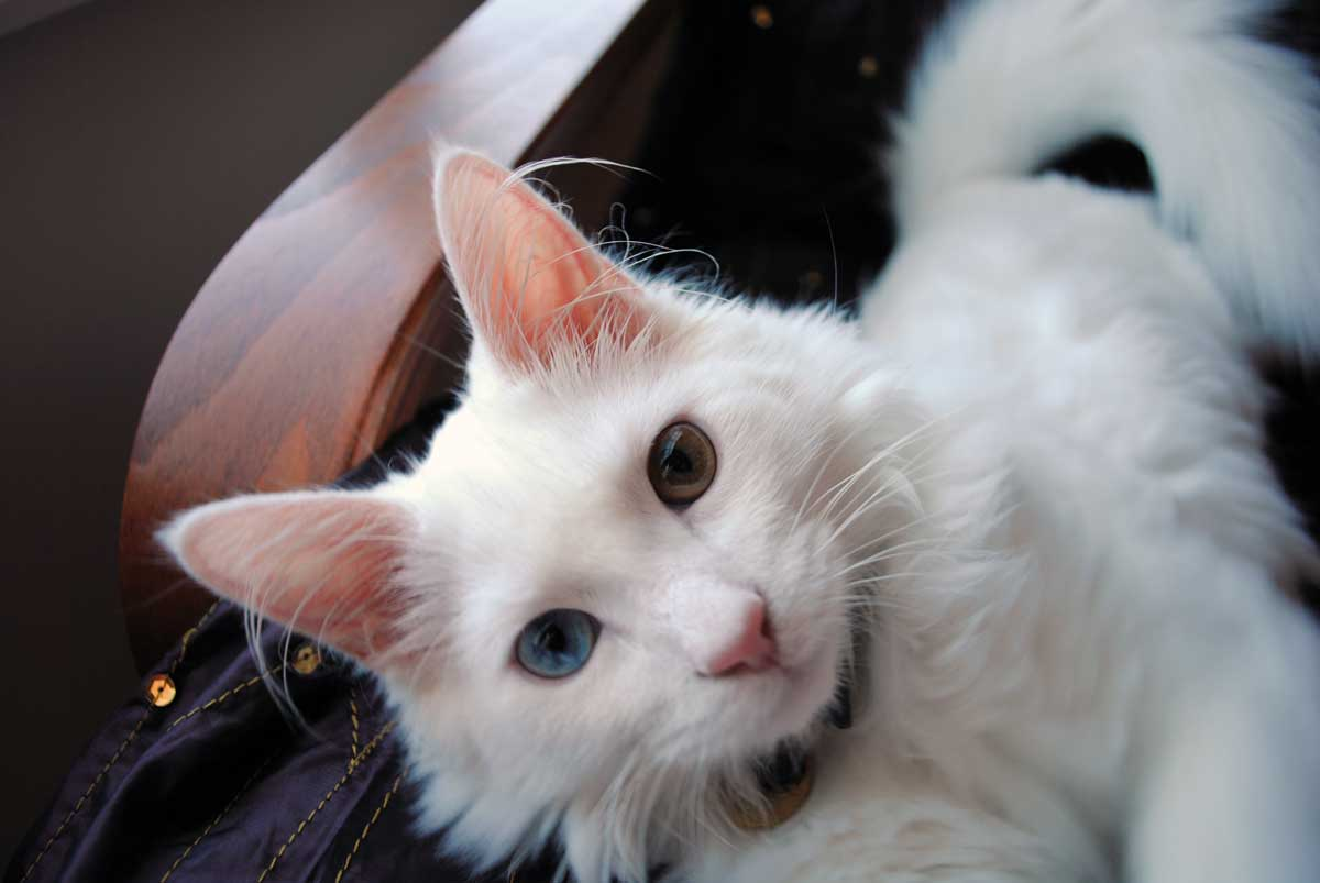 0b47624c32 Turkish Angora cat with different colored eyes