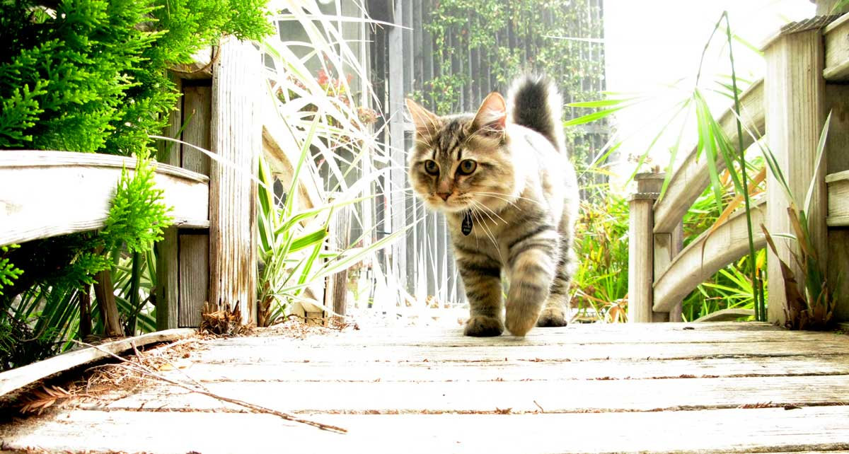 9 cat breeds that love water – Adventure Cats