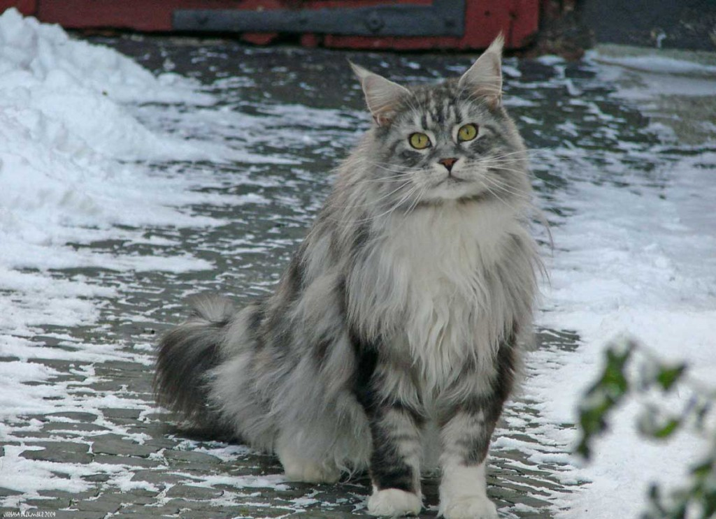 Maine Coon cat in snow