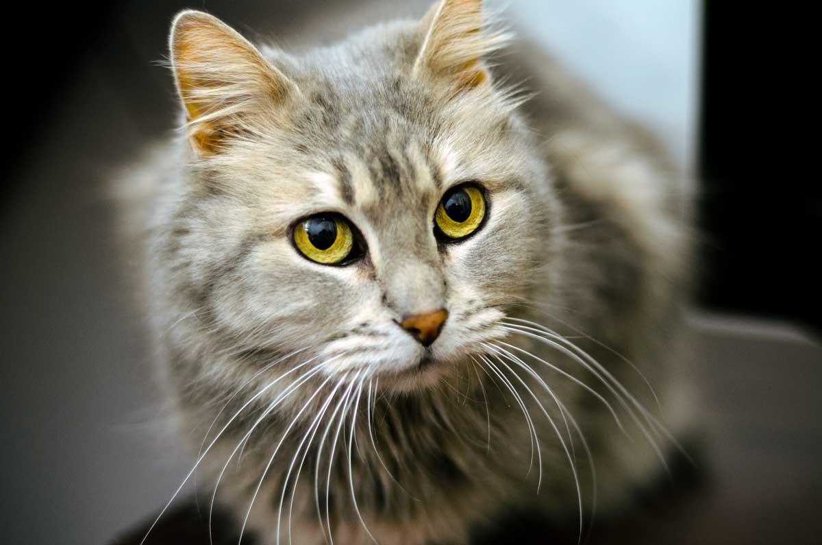 9 cat breeds that love water u2013 adventure cats