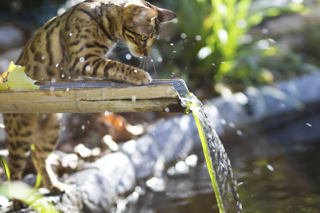 Bengal cat plays in water