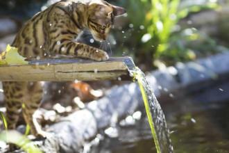Bengal cat plays in water