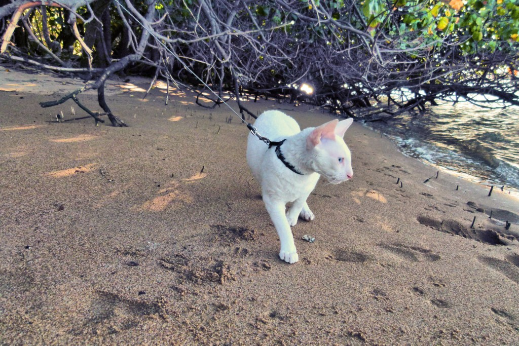 Gandalf the white cornish rex walks along a sandy beach in Australia