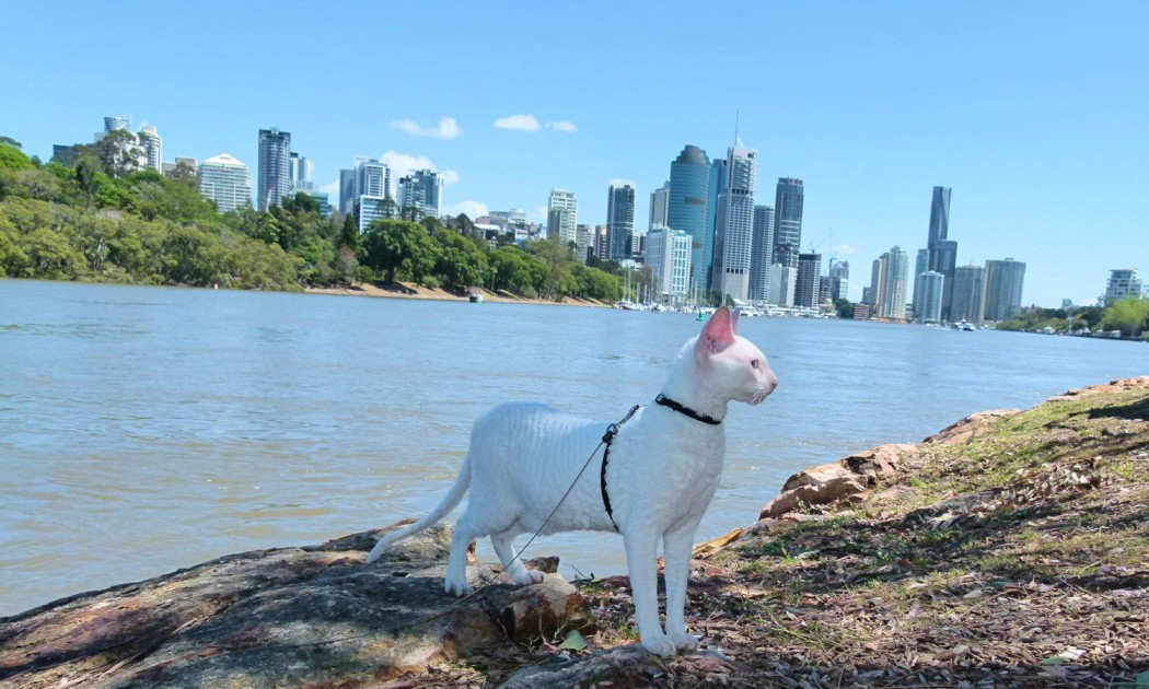 Gandalf the white cornish rex explores Kangaroo Cliffs