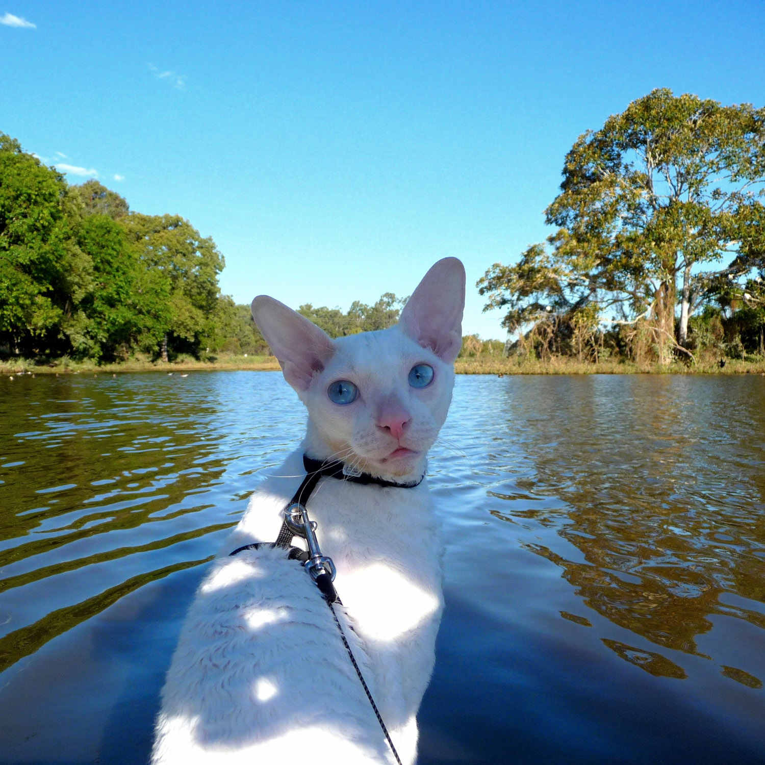 Gandalf is a brave kitty who's up for anything despite being deaf!