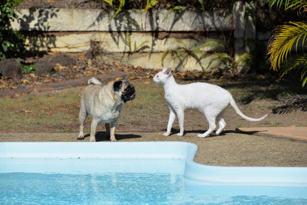 Gandalf the white cornish rex plays with his pug friend at the pool