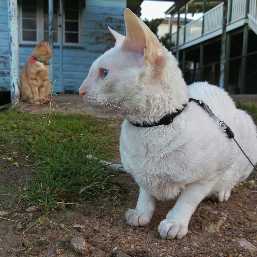 Gandalf the white cornish rex loves to visit his neighbor cats