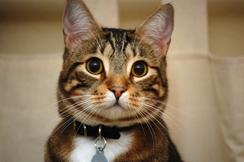 attentive cat listening