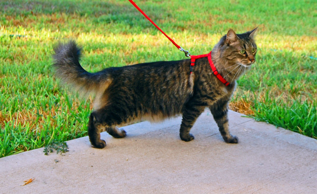 Harnessed cat walks