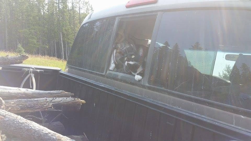 cat peering out of truck