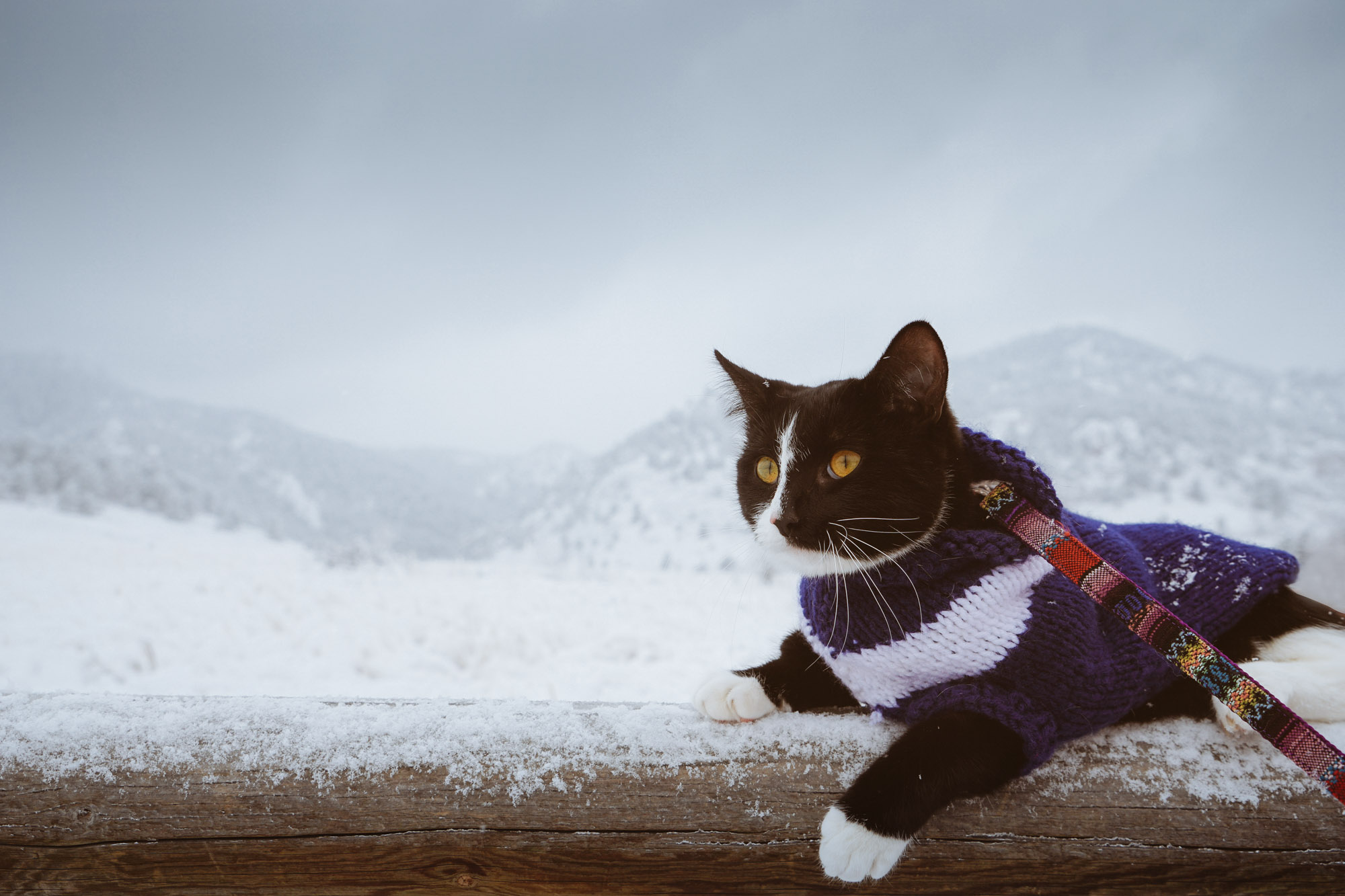 kitten in front of snowy Boulder mountains