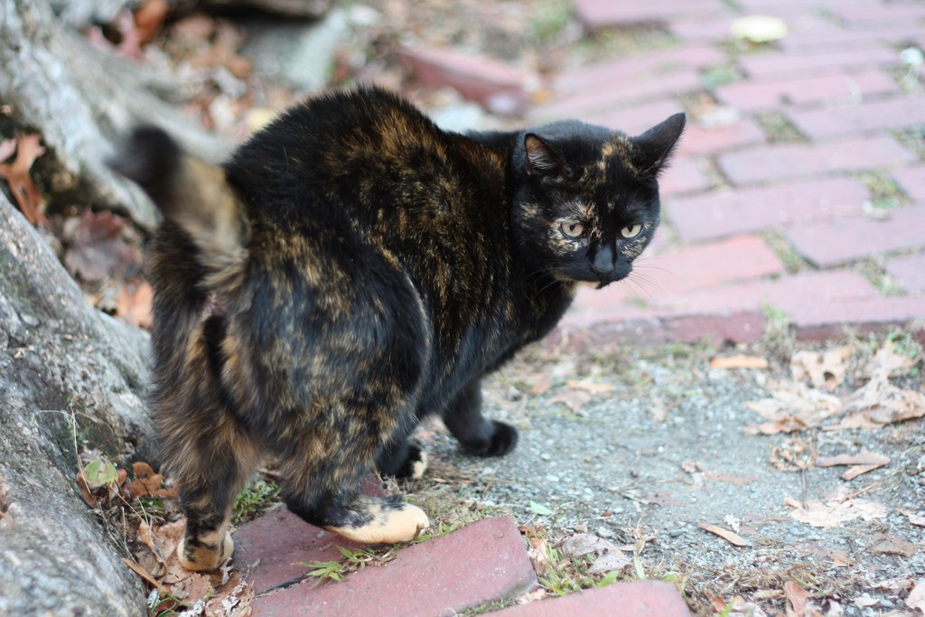 cat with flicking tail