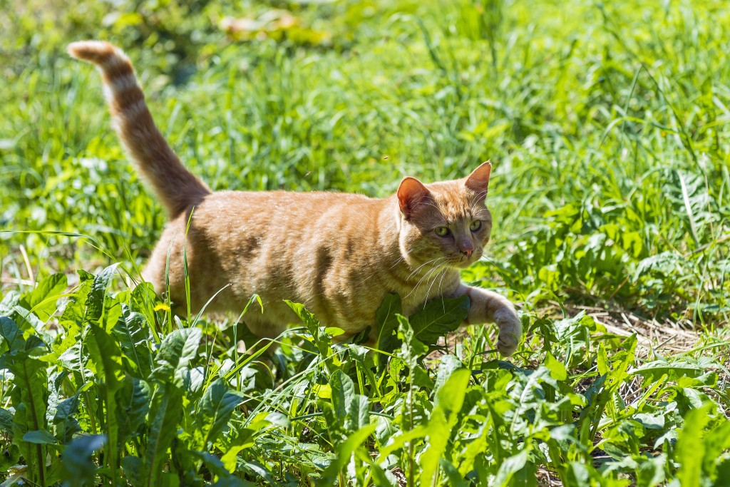 cat with slightly bent tail