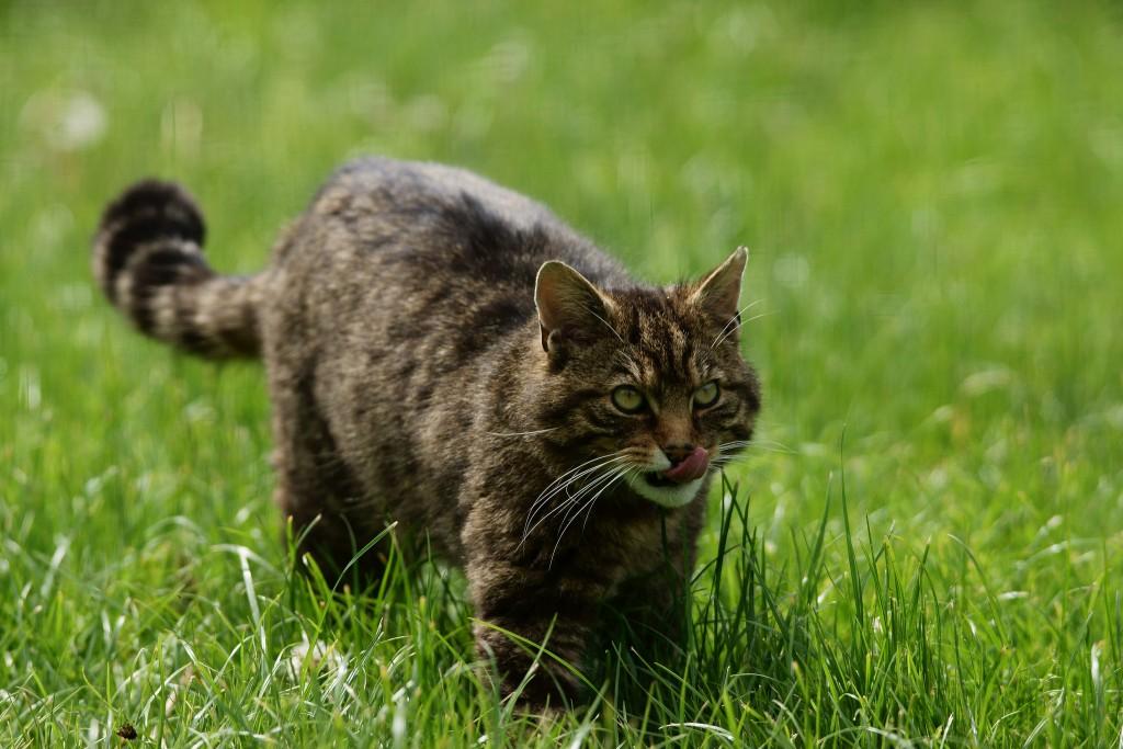 Cat swishing tail ready to pounce