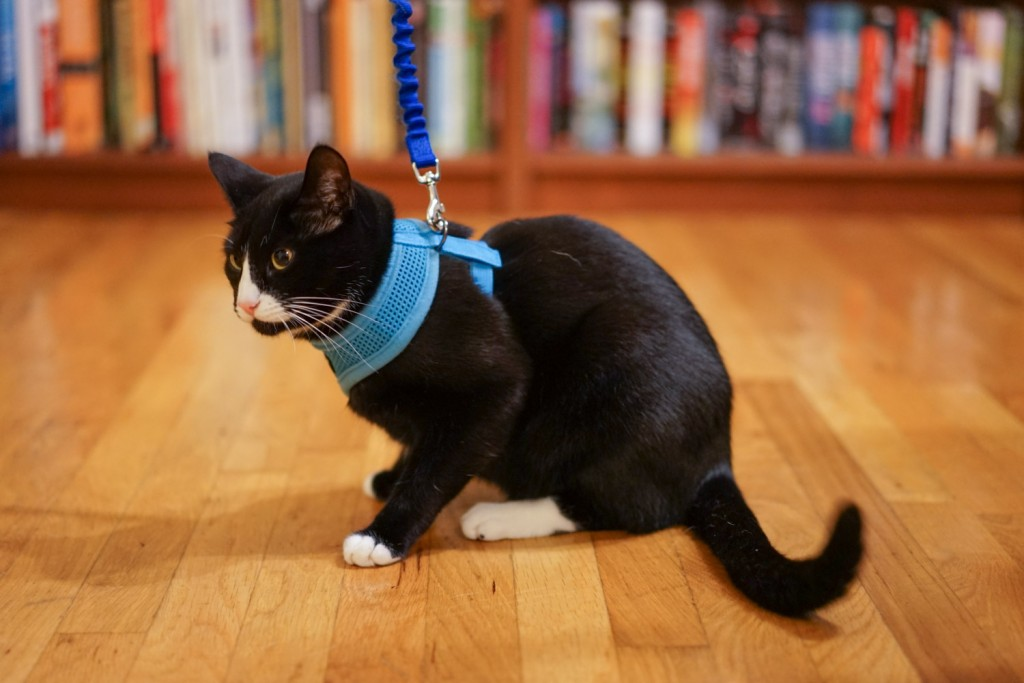 cat wearing harness and leash indoors