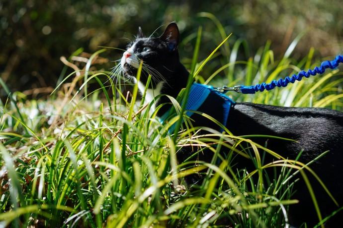 Sirius black cat walking on leash