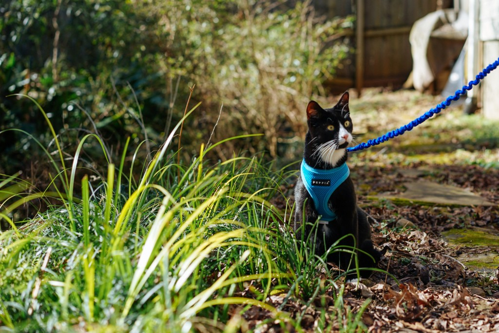train cat to walk on leash