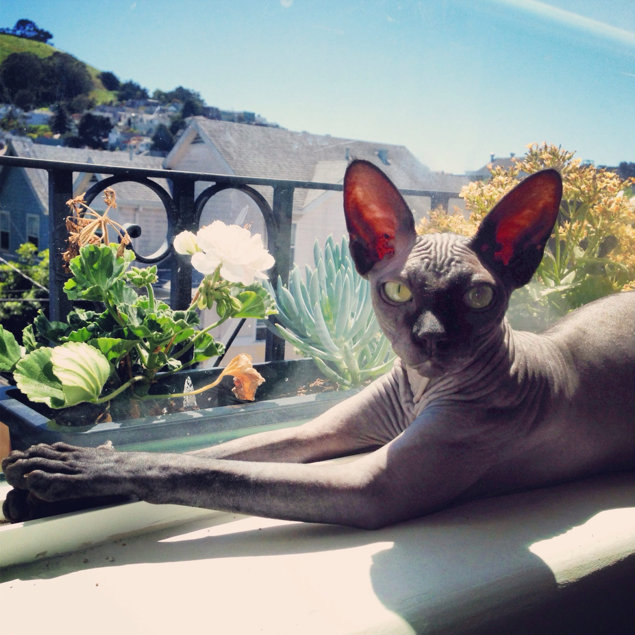 A hairless sphynx cat catches some rays in the window.