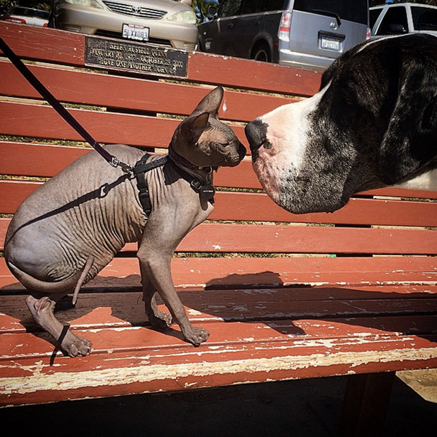 Omar the Sphynx cat goes nose-to-nose with a Great Dane