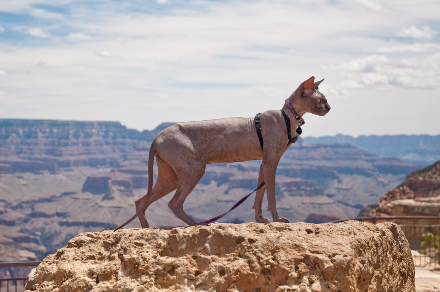 Omar the Sphynx cat has seen more states and national parks than lots of people we know!