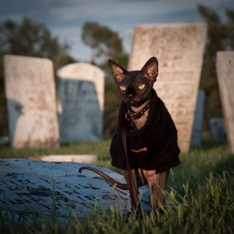 Omar the Sphynx cat dons a black sweater in the graveyard