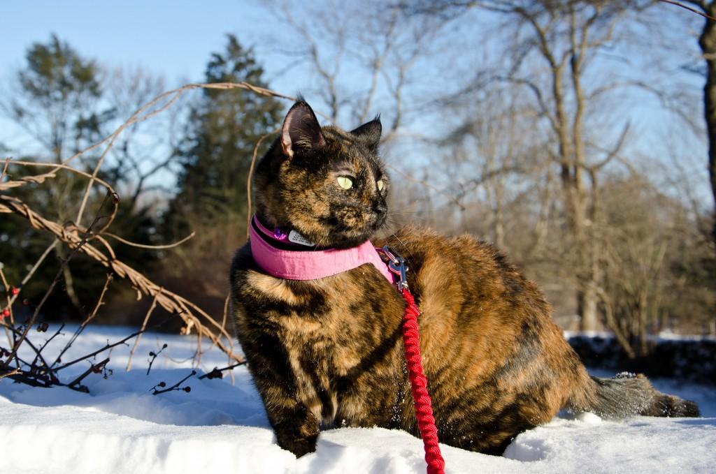cat walking on leash in snow
