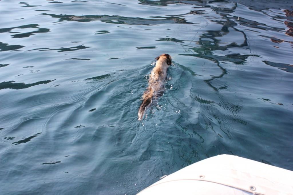 Swimming boat cat