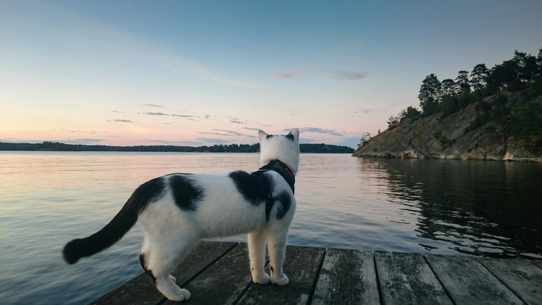cat watching sunset