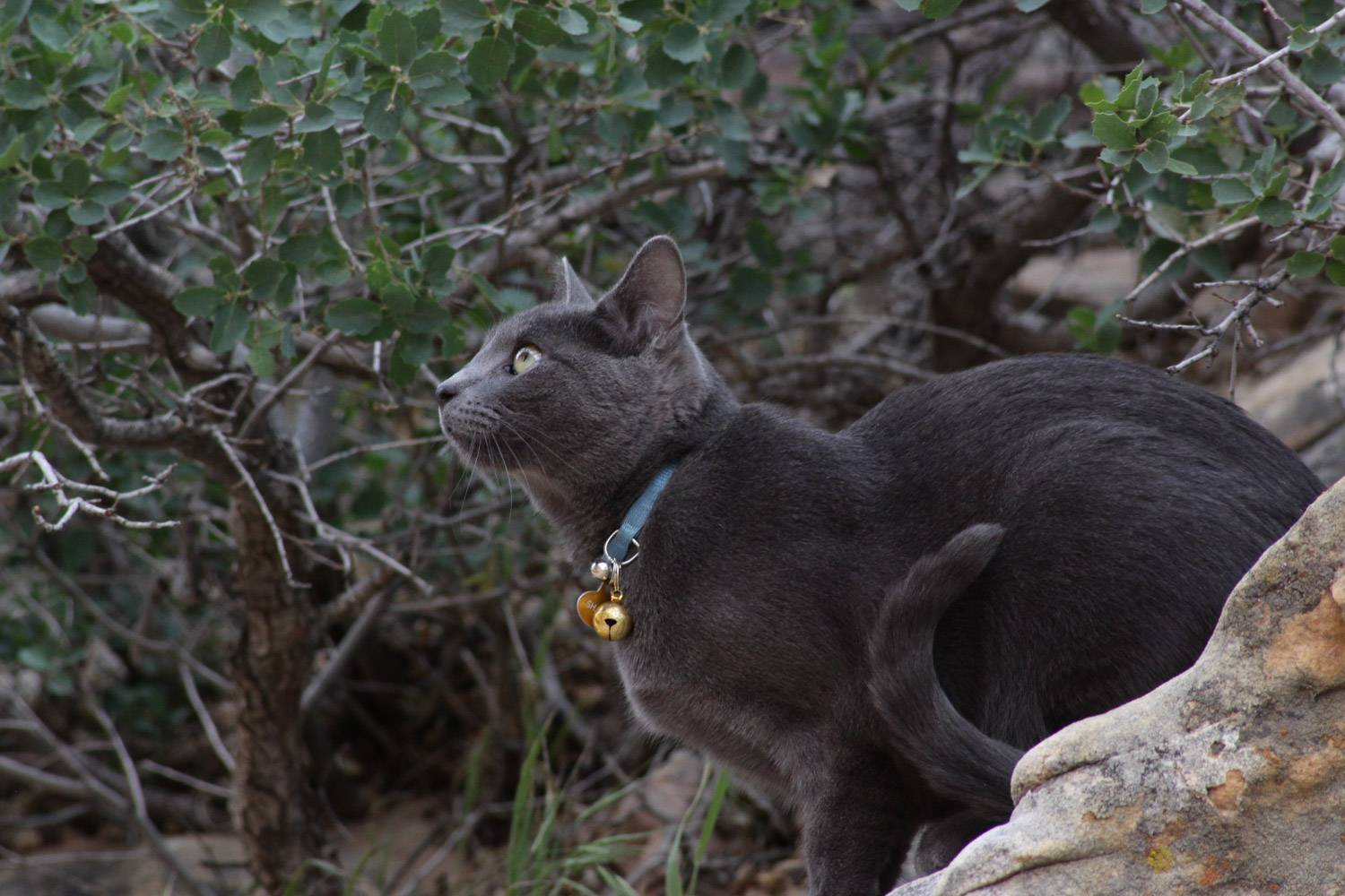 gray cat in blue collar