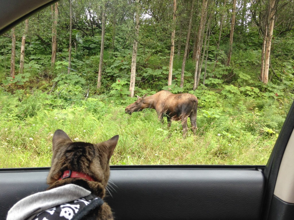 cat looking at moose
