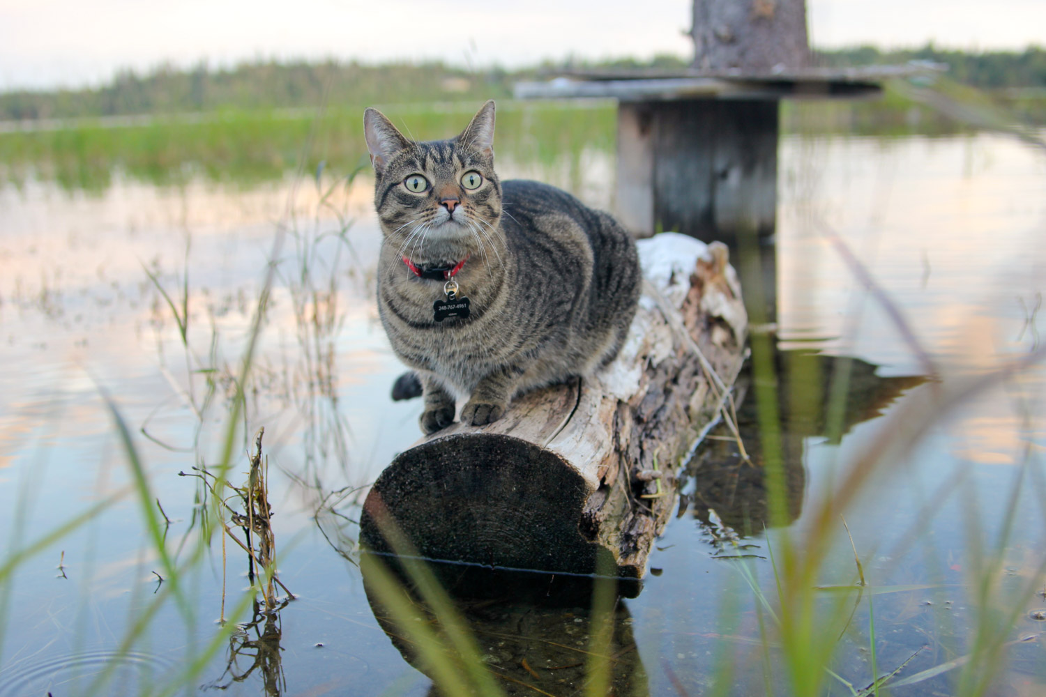 cat sitting on log in water