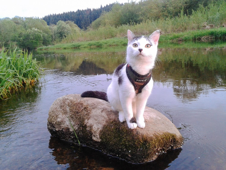 cat wearing Puppia harness
