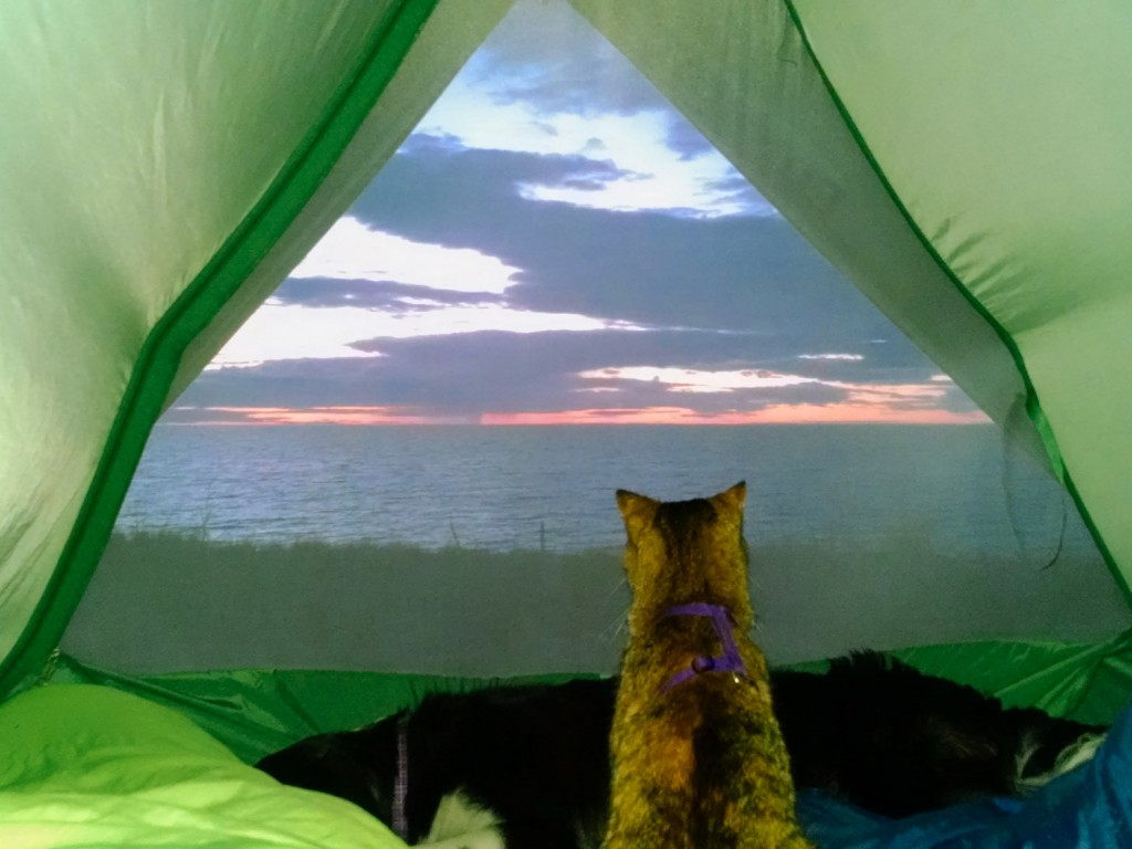 cat looking outside tent