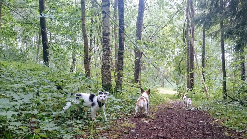cat walking with dogs