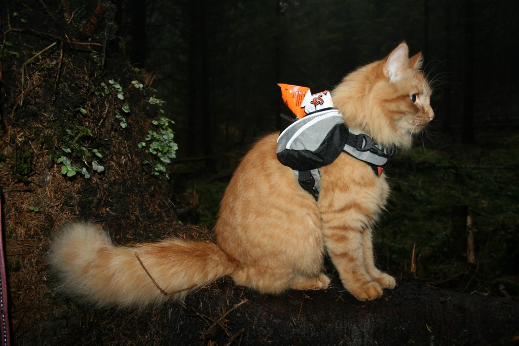 cat wearing backpack