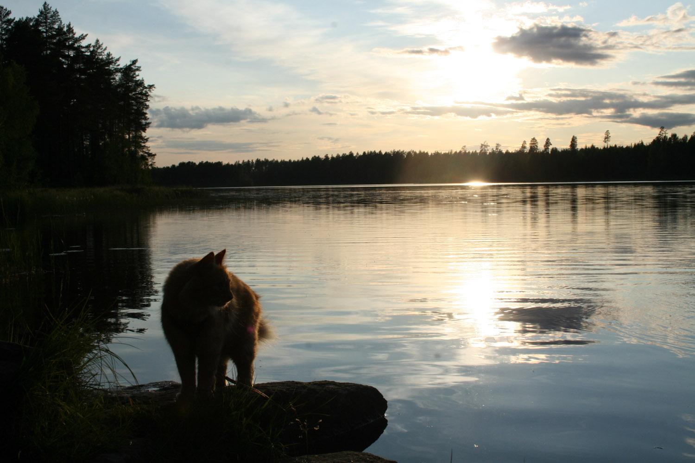 Jesper the cat in sunset