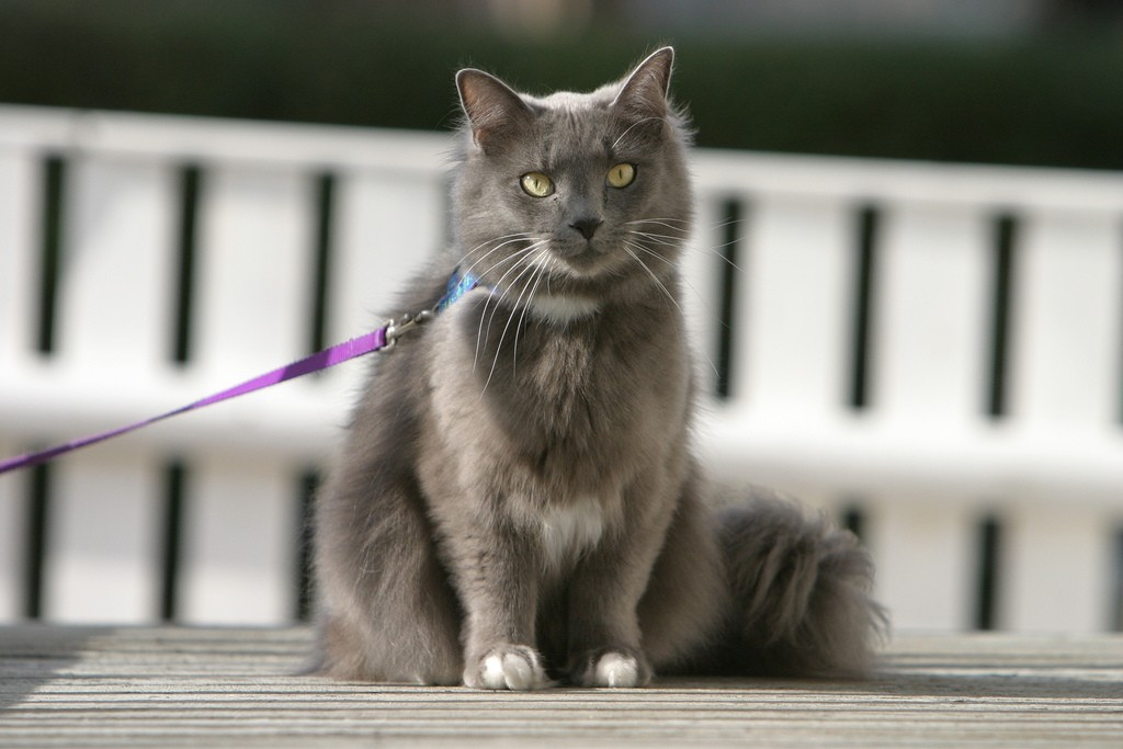 gray cat wearing leash and harness