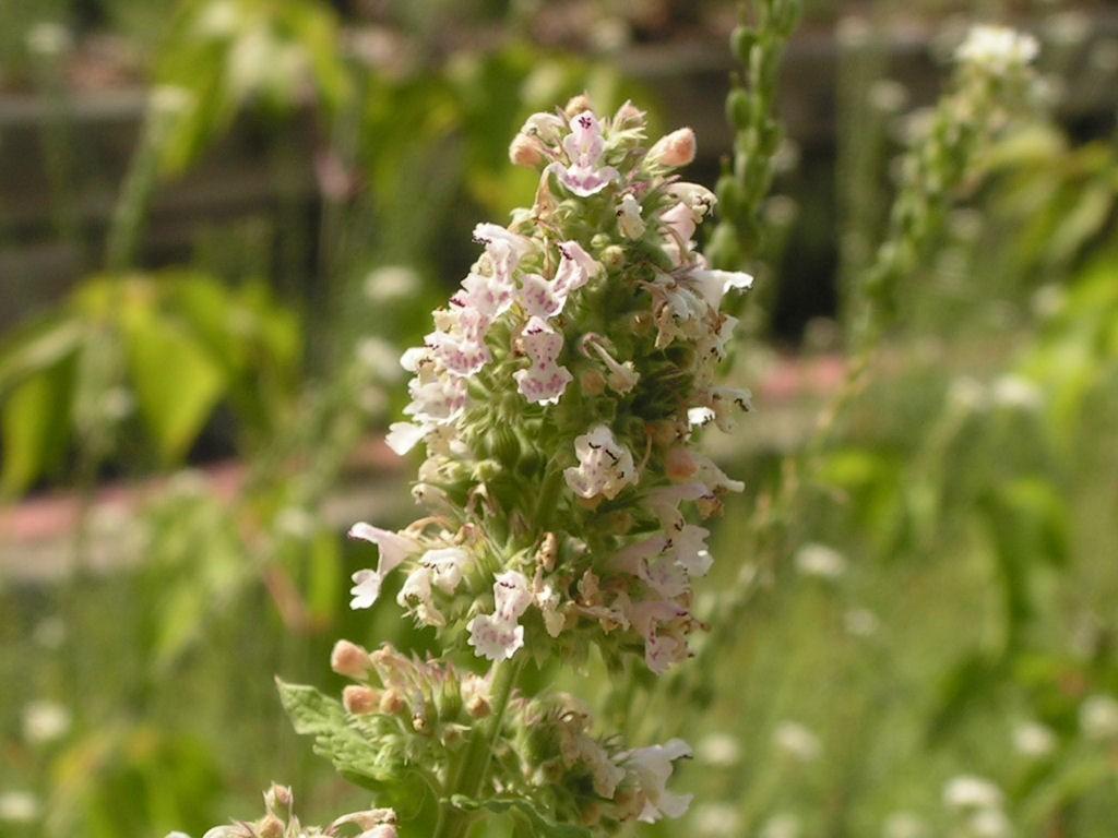 flowering catnip plant