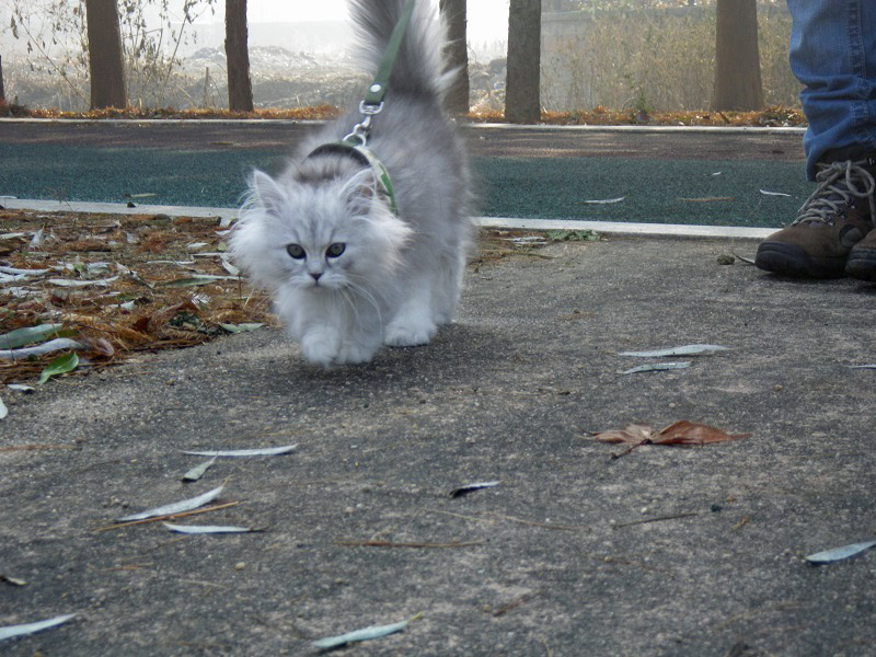 fluffy gray kitten on leash
