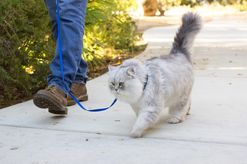 longhaired cat on leash