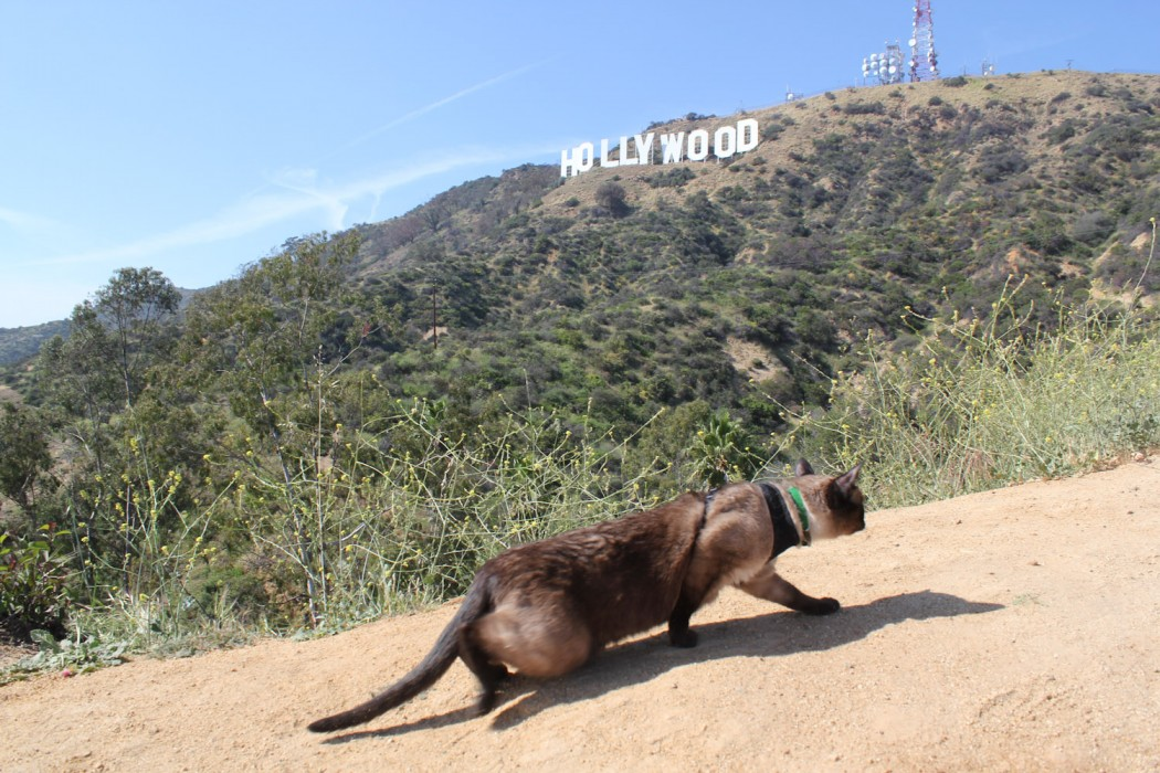 cat hiking by Hollywood sign