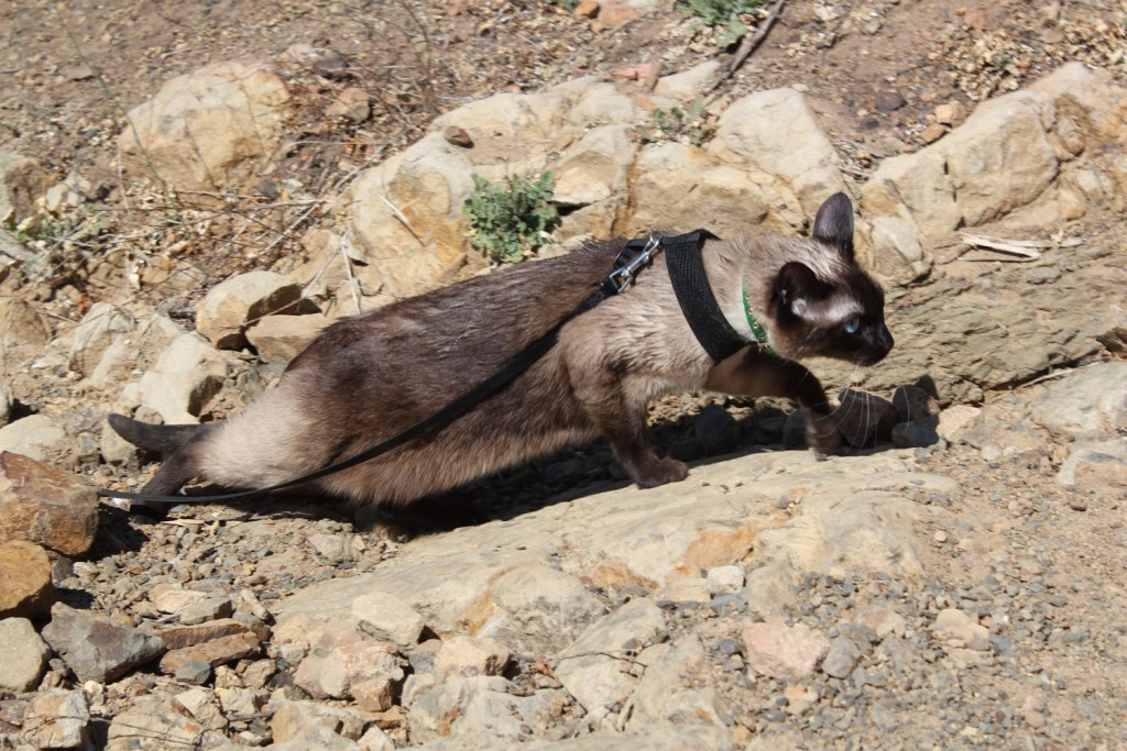 Siamese cat hiking