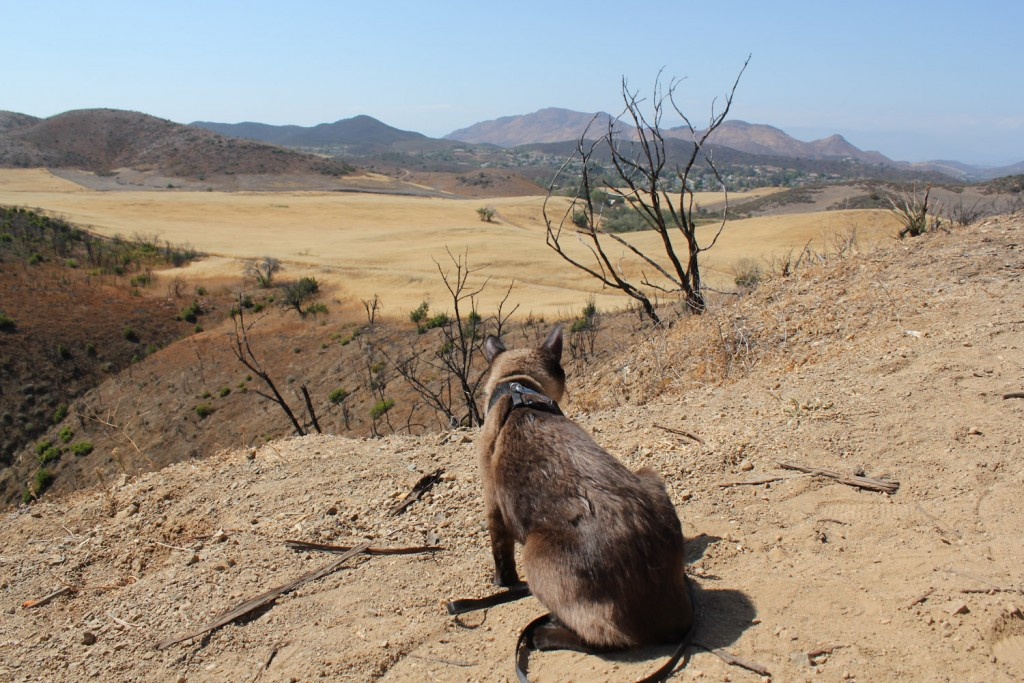 cat hiking in desert