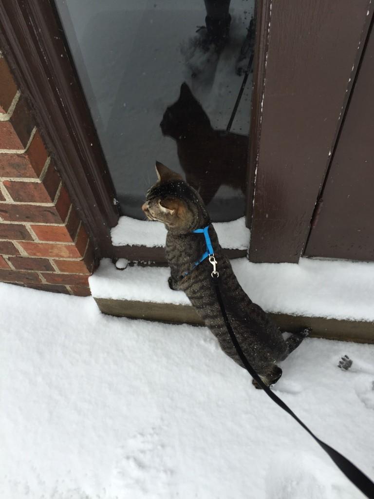 cat in harness in snow