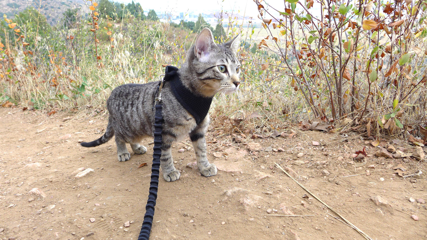 hiking tabby cat