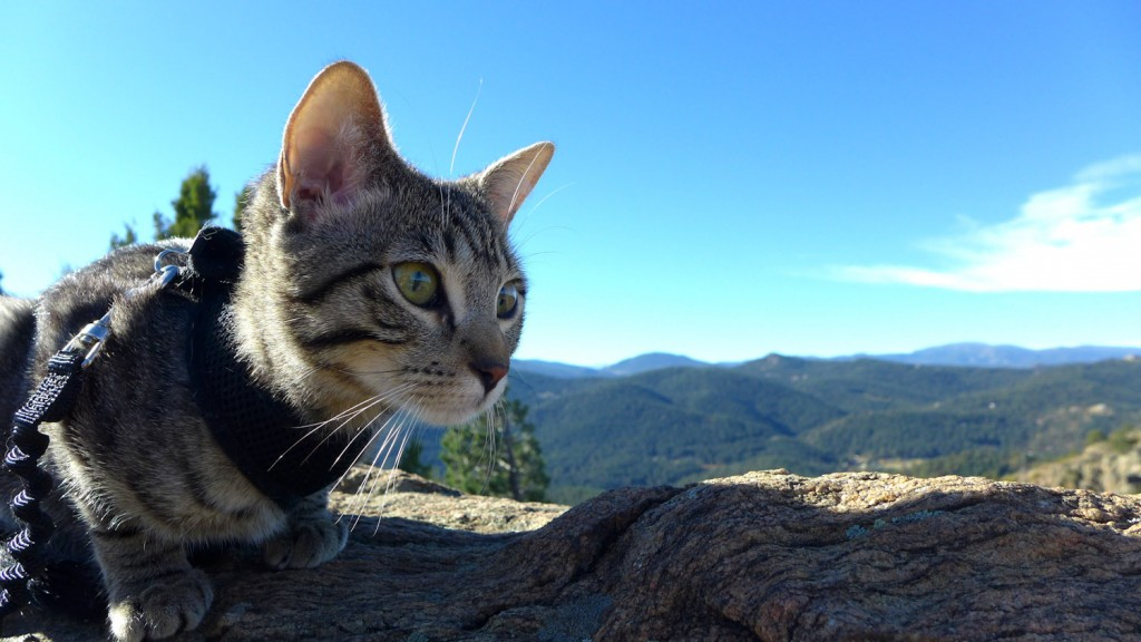 cat overlooking mountains