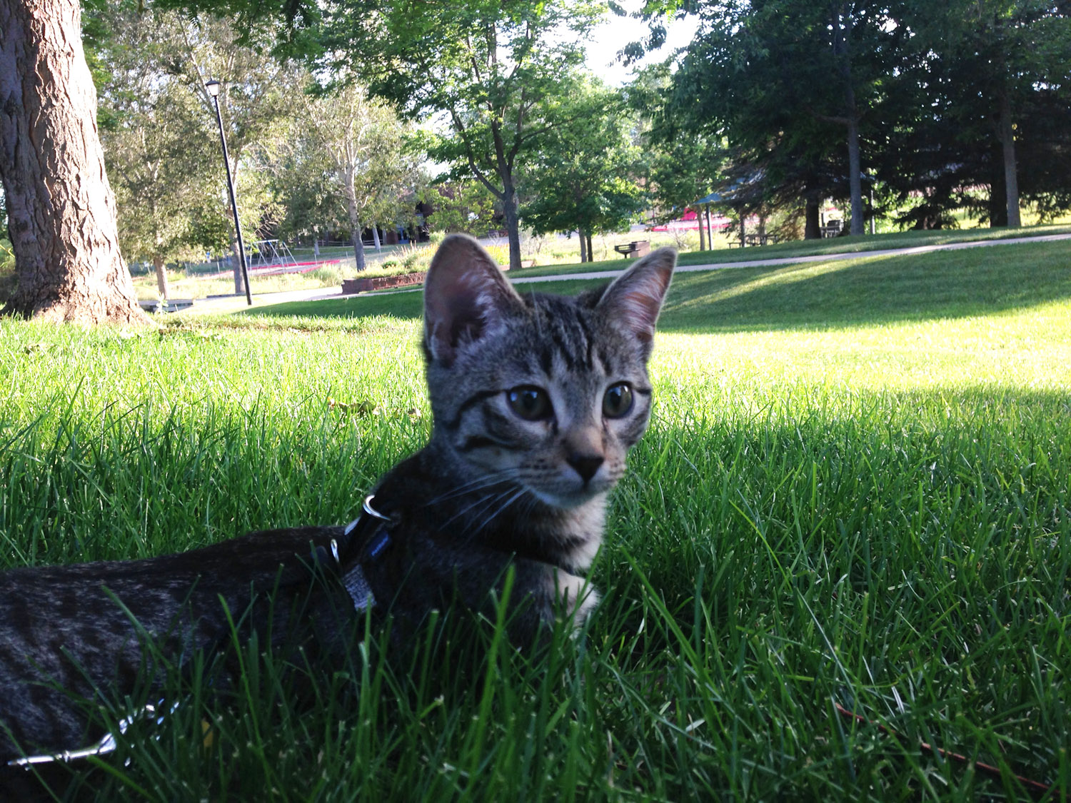 gray kitten in grass