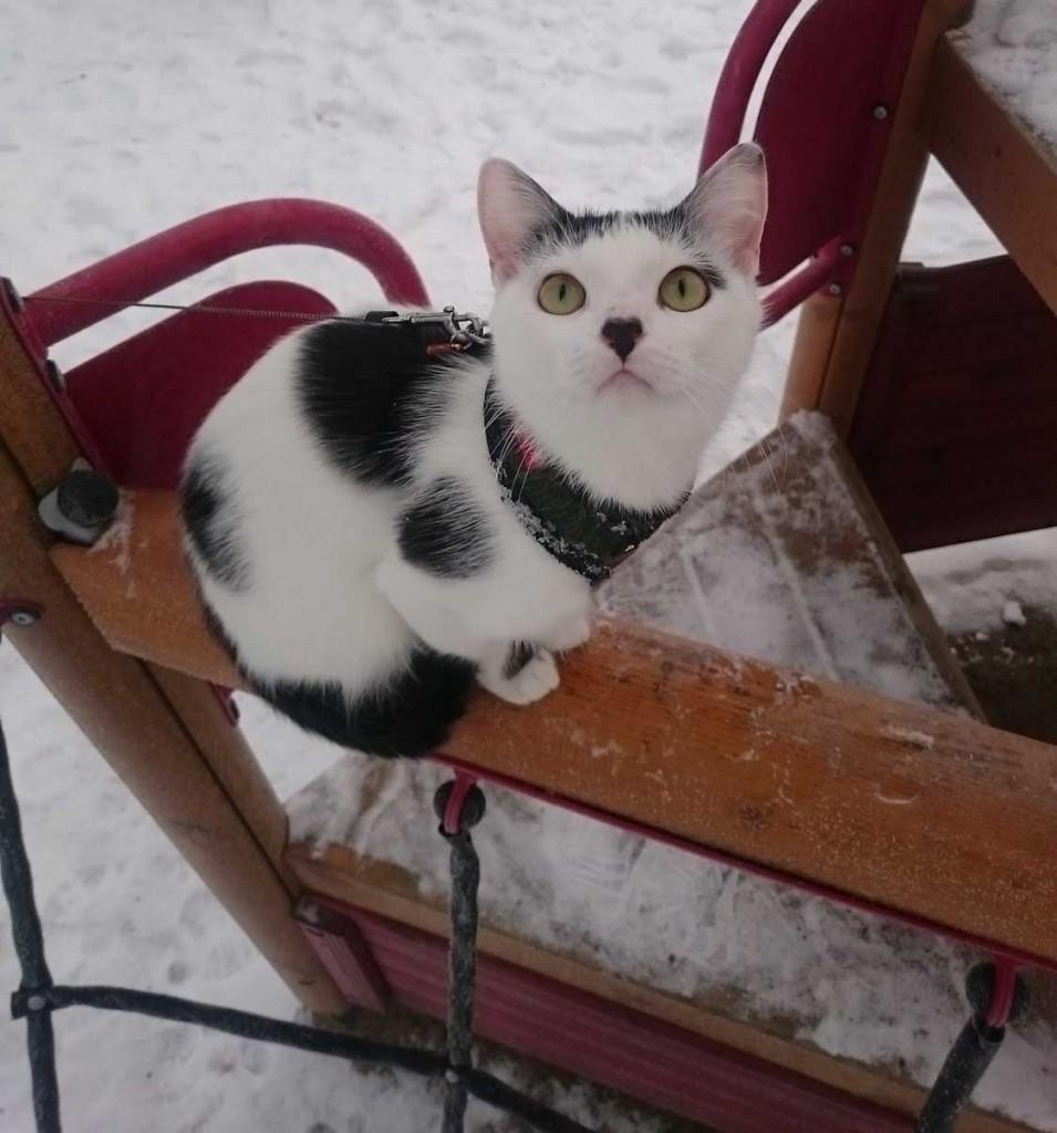 Yuki cat in snow