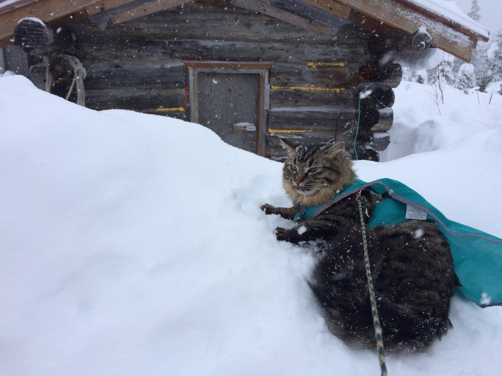 cat in harness sitting outside cabin